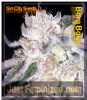 Sin City Bora Bora Female 5 Marijuana Seeds